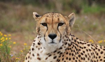 Cape Town Cheetah Conservation Project, South Africa 8